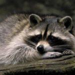Raccoon – Masked Bandit