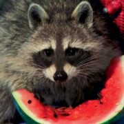 Raccoon is eating watermelon