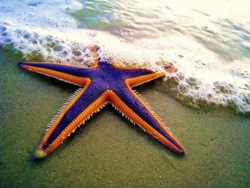Starfish – star animal