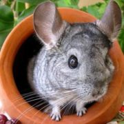 Stunning chinchilla