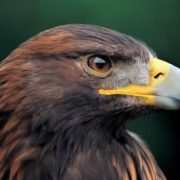 Stunning eagle