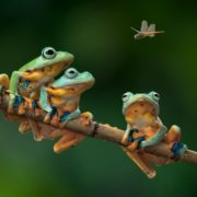 Three frogs and a dragonfly