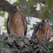 Two young dwarf eagles in the nest