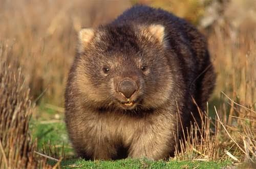 Wombat - bear-like marsupial