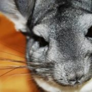 Wonderful chinchilla