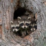 Wonderful raccoons