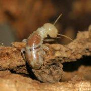 Wonderful termite