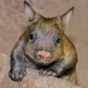 Wonderful wombat