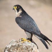 Amazing falcon