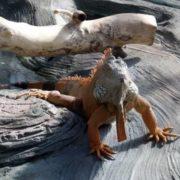 Amazing iguana