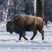Attractive bison