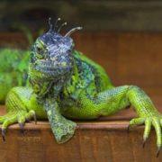 Attractive iguana