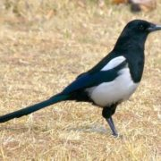 Attractive magpie