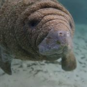 Attractive manatee