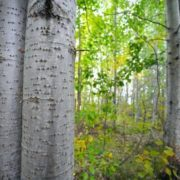 Awesome aspen