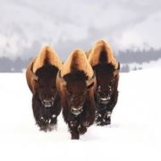 Awesome bison