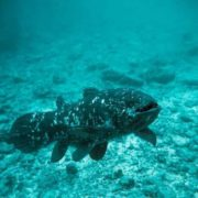 Awesome coelacanth