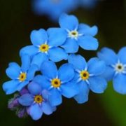 Awesome forget-me-not