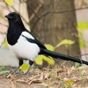 Awesome magpie