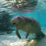 Awesome manatee