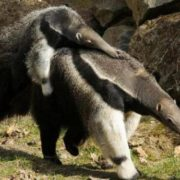 Baby anteater rides its mother
