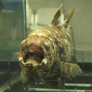 Beautiful coelacanth