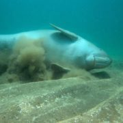 Beautiful dugong