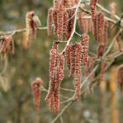 Blooming aspen