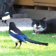 Cat and magpies