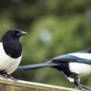 Charming magpies