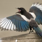 Colorful magpie