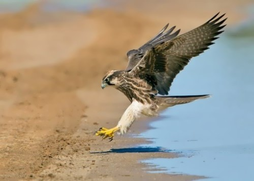Falcon – great hunter