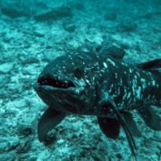Gorgeous coelacanth