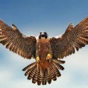 Gorgeous falcon