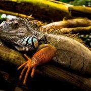 Gorgeous iguana