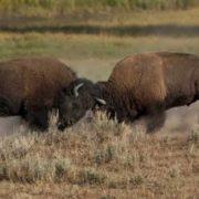 Graceful bison