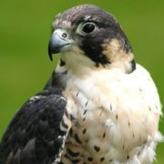 Graceful falcon