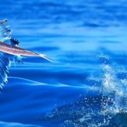 Graceful flying fish