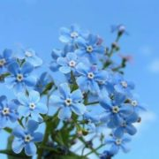 Graceful forget-me-nots