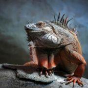 Graceful iguana