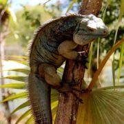 Iguana on the branch