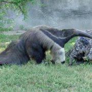 Interesting anteater