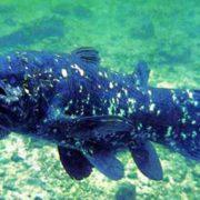 Interesting coelacanth