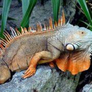 Interesting iguana