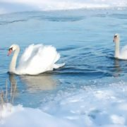 Interesting swans