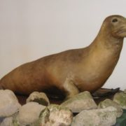 Japanese Sea Lion officially recognized extinct in 1974