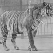 Javan Tiger officially recognized in 1994
