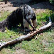 Lovely anteater