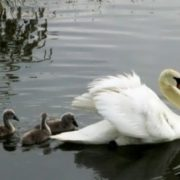 Lovely swans
