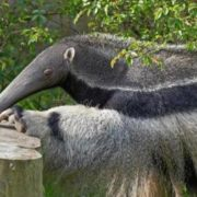 Magnificent anteater